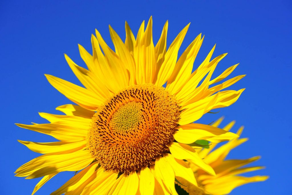 sunflower header image